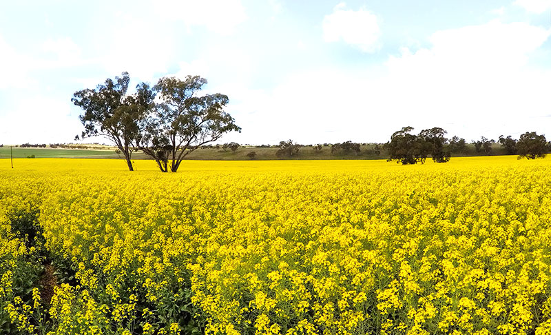 Cassilis canola fields